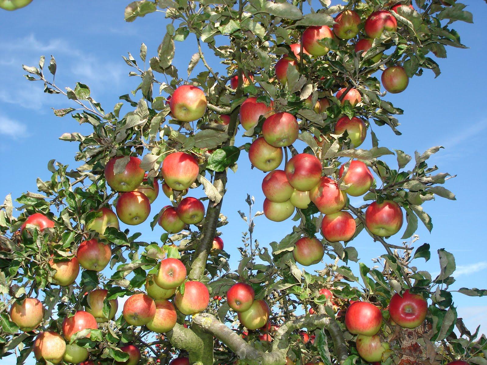 Плодовые деревья и кустарники для сада фото