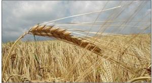 wheatheart
